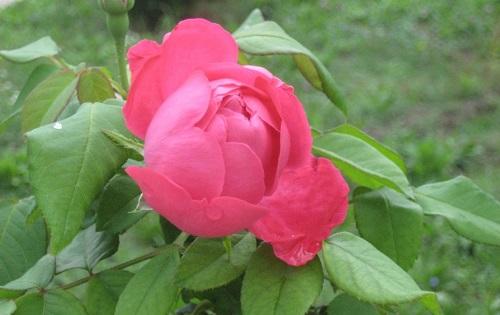 Prince Stirbey en Rose